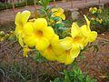 Allamanda flowers 1.JPG