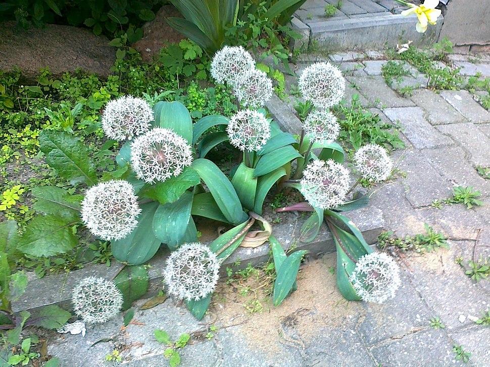 Allium karataviense (Poland, Lublin)