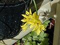 Allium moly fax01.jpg