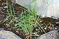Allium sativum 1 2014-03-28.jpg