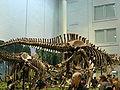 Allosaurus and Apatosaurus st the CMNH 01.jpg