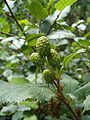 Alnus viridis fruit Bulgaria.jpg
