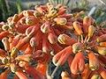 Aloe (4552432340).jpg