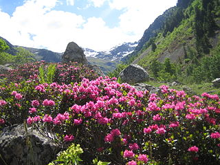 """<i>Rhododendron <span style=""""font-style:normal;"""">subg.</span> Rhododendron</i> Subgenus of flowering plants"""