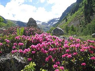 Rhododendron - Rhododendron ferrugineum
