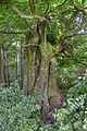 Alte Buche im Sachsenthal - panoramio (3).jpg