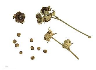 Althaea cannabina - Althaea cannabina - MHNT