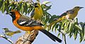 Altimira Oriole From The Crossley ID Guide Eastern Birds.jpg