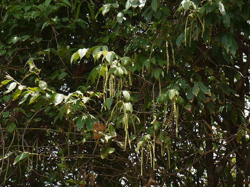 File:Amalai (Tamil- அமளை) (3623919397).jpg