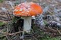 Amanita muscaria (30146431374).jpg