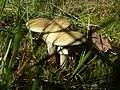 Amanita phalloides (1467454771).jpg