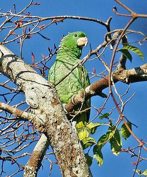 Kawall's amazon - At Rio Cristalino, Mato Grosso, Brazil