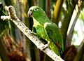 Amazona ochrocephala -Puerto Maldonado, Peru -pet-8a.jpg