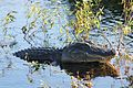 American Alligator - Alligator mississippiensis, Everglades National Park, Homestead, Florida.jpg