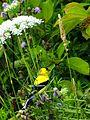 American Goldfinch (14526285550).jpg