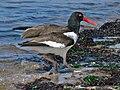 American Oystercatcher (Haematopus palliatus) RWD2.jpg