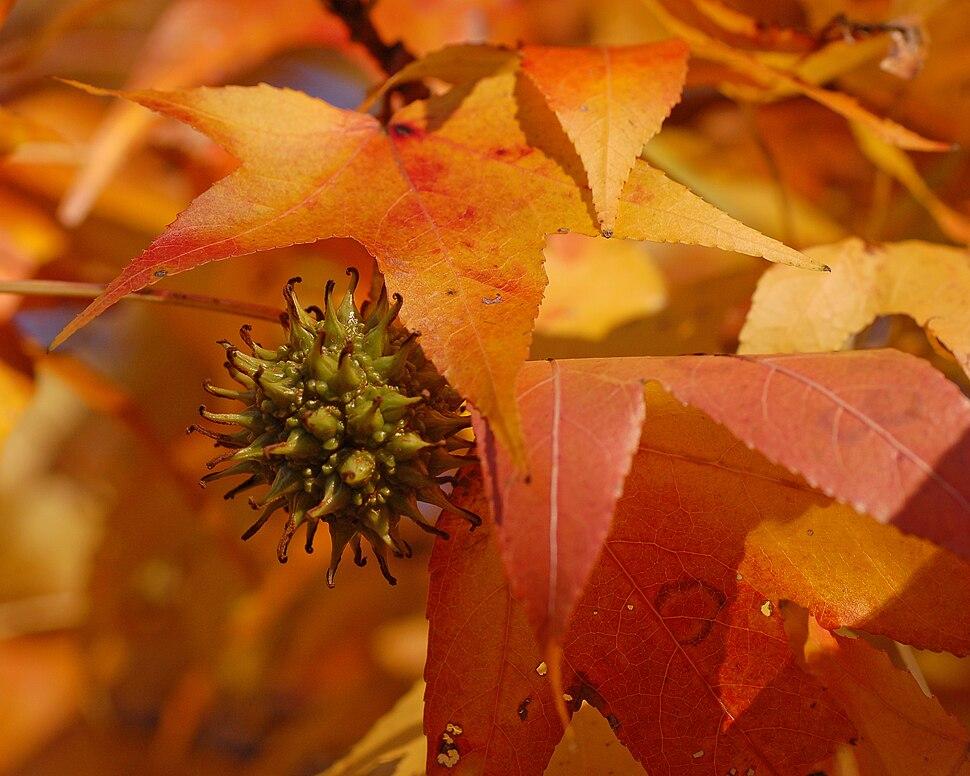 American Sweetgum Liquidambar styraciflua Fruit Context 2500px