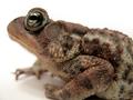 American Toad (Bufo americanus) (6216602150).png