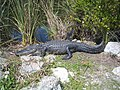 American alligator Everglades National Park 0024.JPG