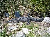 American alligator Everglades National Park 0024.JPG