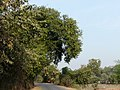 Amlika (Sanskrit- अम्लिका or आम्लीका) (3296982831).jpg