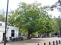 Amstelkerk big tree.jpg
