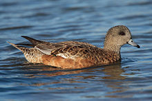 A reddish-brown duck in water