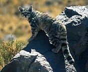Andean cat 1 Jim Sanderson.jpg