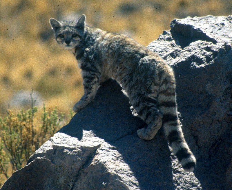 """Andean cat 1 Jim Sanderson"" by Jim Sanderson - work of Jim Sanderson. Licensed under CC BY-SA 3.0 via Wikimedia Commons - https://commons.wikimedia.org/wiki/File:Andean_cat_1_Jim_Sanderson.jpg#/media/File:Andean_cat_1_Jim_Sanderson.jpg"