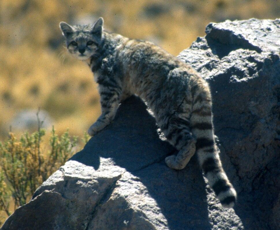 Andean cat 1 Jim Sanderson