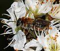 Andrena (Trachandrena) haemorrhoa - Flickr - S. Rae (2).jpg