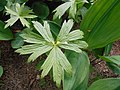 Anemone canadensis 2016-05-17 0668.jpg