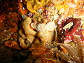 Anemones and colonial ascidians at the wreck of SAS Pietermaritzburg P7260737.JPG