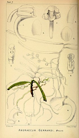 Angraecum gerrardii - Harry Bolus - Orchids of South Africa - volume I tab. 7 (1896).jpg