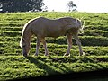 Animal grazing - geograph.org.uk - 1515016.jpg