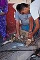 Animal sacrifice at Eid at Adha 0.jpg