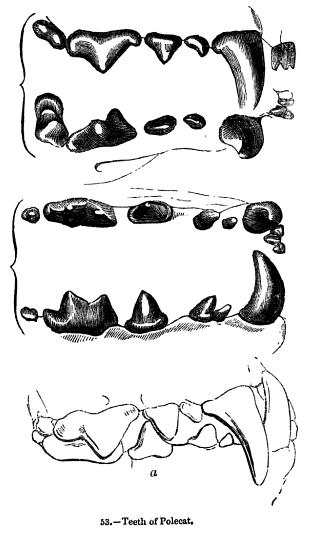 Animaldentition mustelaputorius