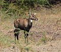 Antelope India 1.jpg