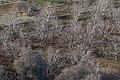 Antepfıstığı - Pistacia vera 01.jpg