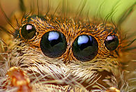 Anterior Median and Anterior Lateral Eyes of a Phidippus princeps Jumping Spider.jpg