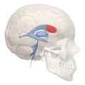 Anterior horn of lateral ventricle - 02.png
