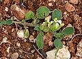Anthyllis. tetraphylla.jpg