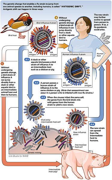 File:AntigenicShift HiRes.jpg