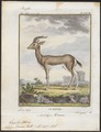 Antilope dorcas - 1700-1880 - Print - Iconographia Zoologica - Special Collections University of Amsterdam - UBA01 IZ21400057.tif