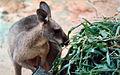 Antilopine kangaroo.jpg