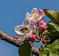 Apfelblüte IMG 1547.jpg