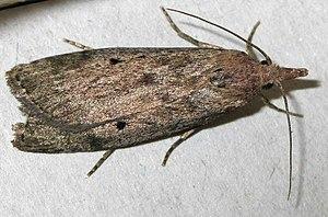Aphomia sociella - Adult female