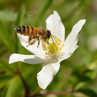 Anemone nemorosa - Pollination