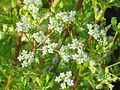 Apium crassipes FloresyFrutos 2011-4-16 CampodeCalatrava.jpg
