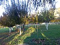 Apple trees in my farm , Dec 09 - panoramio.jpg